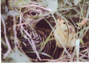Attwater's Prairie-Chicken with chick. Photo by joelsartore.com.