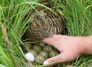 A tame, captive raised Greater Prairie-Chicken allows close inspection of her nest.
