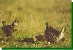 Pair of booming males face off. Radio can be seen on bird at left. image (c) Joel Sartore www.joelsartore.com