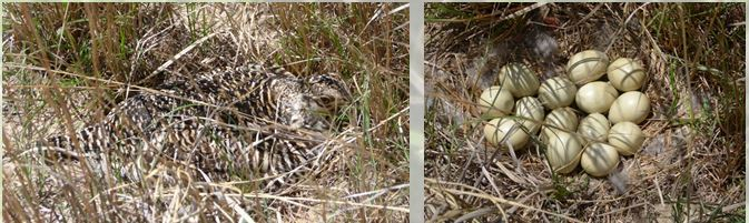 Greater Prairie-Chicken hen incubating in the wild (left) and her 14 egg clutch (right)