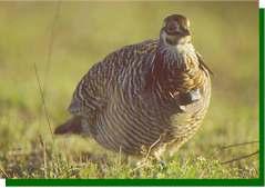 Notice the radio around the neck of this prairie-chicken cock. image (c) Joel Sartore www.joelsartore.com