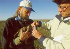 A sock is placed over the head of a captured prairie-chicken to keep it calm while measurements are made and a transmitter is attached.