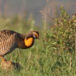 GreaterPrairie-ChickenDanReinking