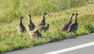 A brood of sharp-tailed grouse foraging along the road.