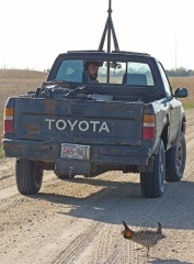 A booming male prairie-chicken checks out one of the tracking vehicles driven by research assistant Perre Kerch