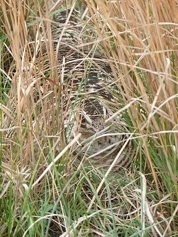 A female prairie-chicken nesting in residual cover, and important grassland component