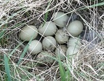 A typical Minnesota prairie-chicken nest in residual grass cover
