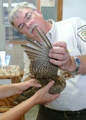 Mike Morrow of the USFWS examines a captive-produced Attwater's prairie-chicken prior to release.