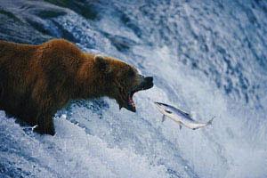 bear-sartore-2007