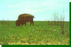 Large herbivores such as American Bison and cattle preferentially graze recently burned areas.