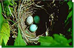 Dickcissel nest parasitized by a Brown-headed Cowbird. The cowbird egg is speckled; the two Dickcissel eggs are blue. The cowbird egg often hatches sooner and the resulting chick is larger than those of the host.