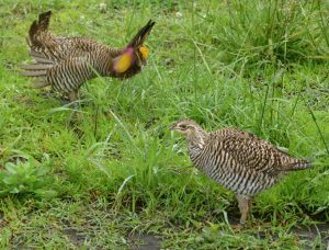 A captive male Greater Prairie-Chicken courts a female in a naturally vegetated enclosure.