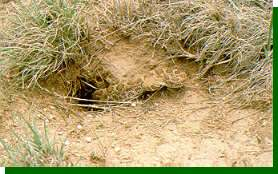 Prairie rattlers are just one of the dangers faced by nesting shortgrass prairie birds.
