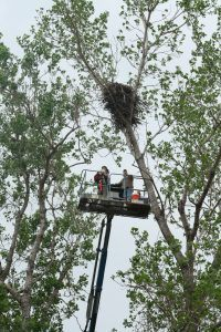 April 14, 2011 - The Sutton Center's Steve Sherrod and Ryan Van Zant use a lift to carefully retrieve the young eagle from the nest (Cheryl Cavert)