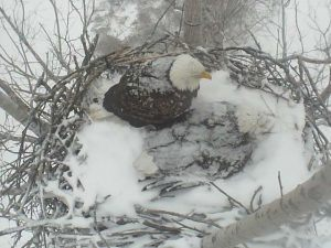 February 9, 2011 - Dedicated parents shelter their young from a snowdump (USFWS)