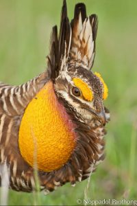 Attwater's Prairie-Chicken by Noppodal Paothong